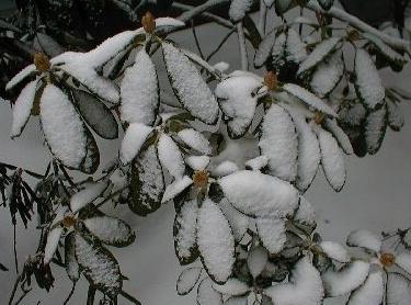 Рододендрон укрытие на зиму