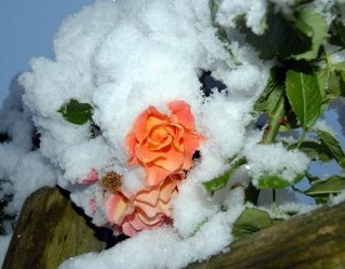 Как закрыть розы на зиму