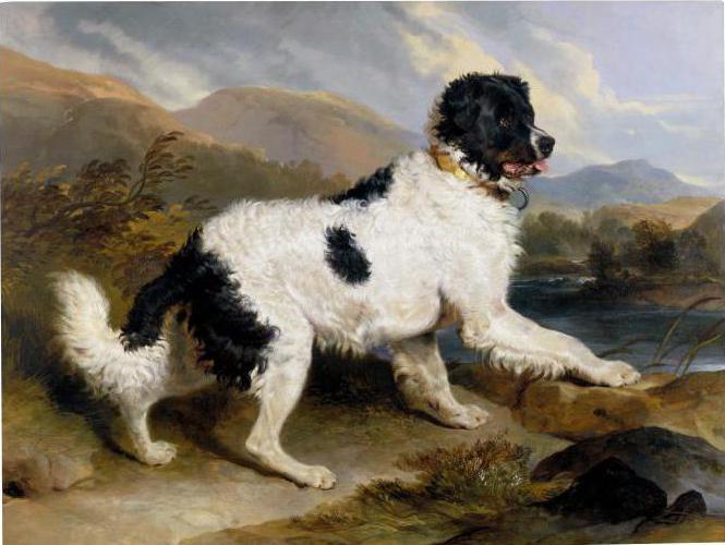 ньюфаундленд порода собак фото
