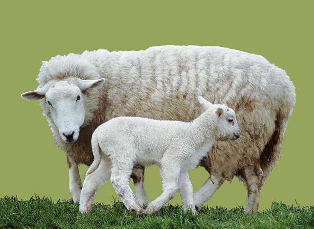 как называется детеныш овцы и барана
