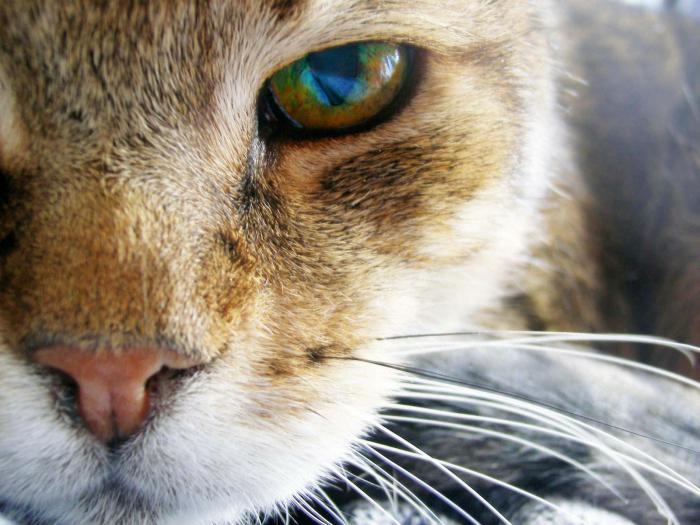 Почему у кошки гноятся глаза