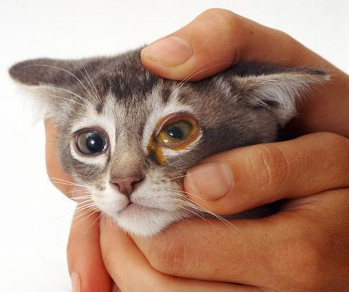 кошка чихает и гноятся глаза