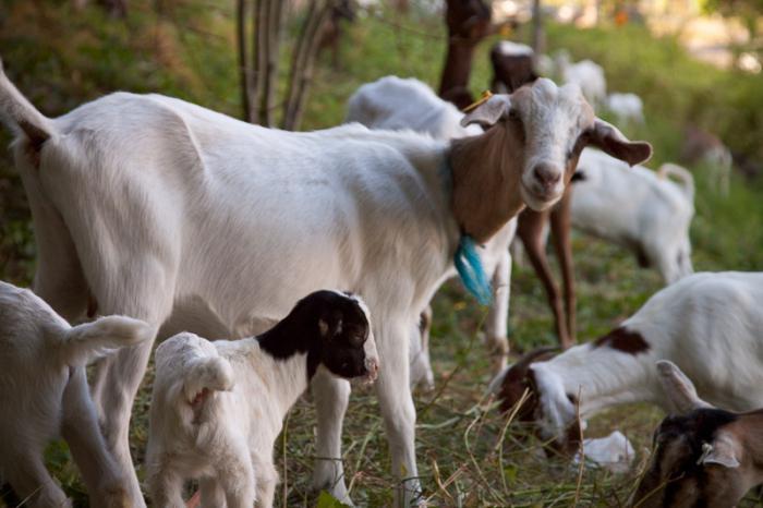 условия содержания коз