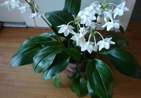 Лилия белая комнатная фото
