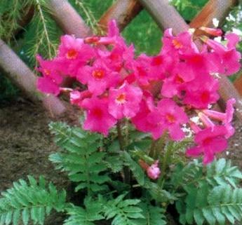 Цветок инкарвиллея: посадка и уход