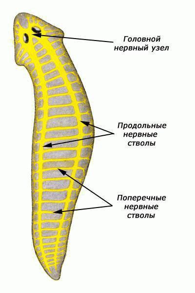 нервная система диффузного типа существует у