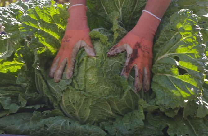сорта капусты для квашения