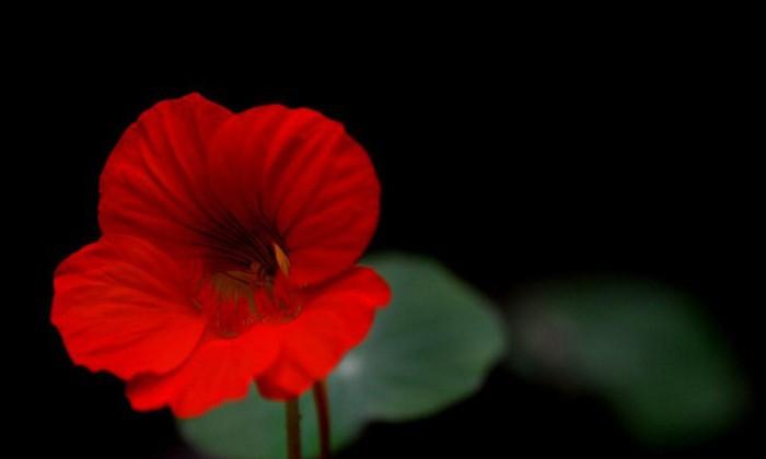 Как нарисовать аленький цветочек из сказки