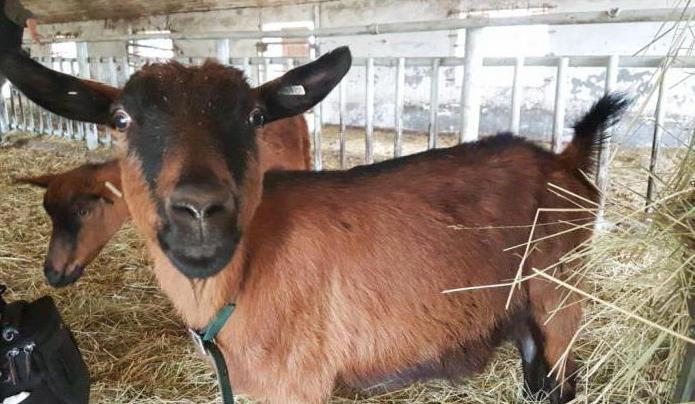 Чешская порода коз: описание, характеристики, особенности и отзывы