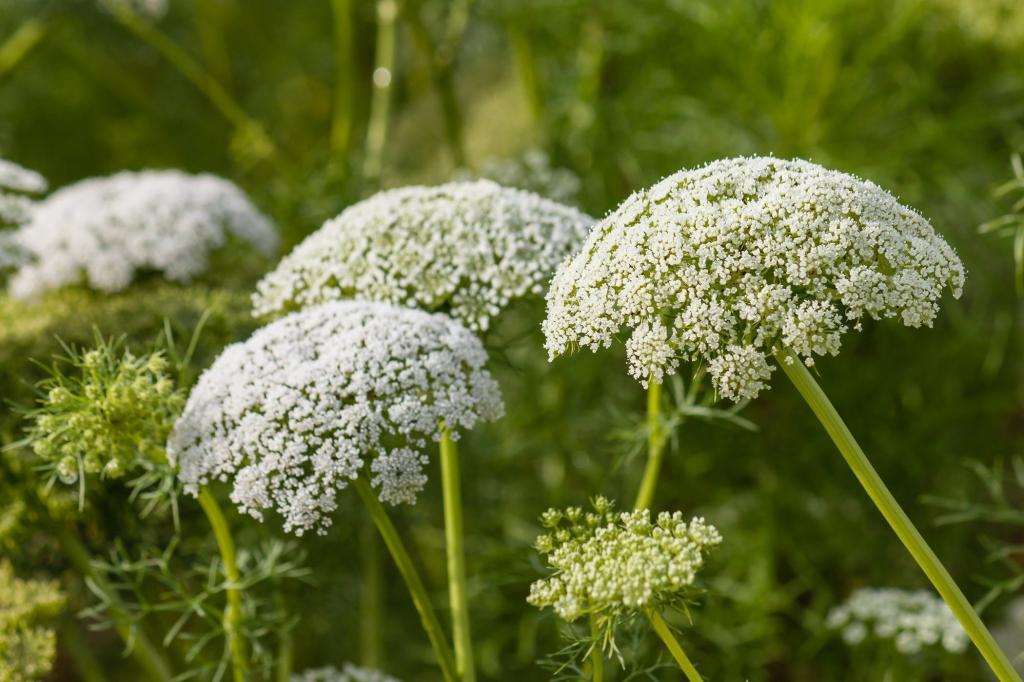 тысячелетник цветок