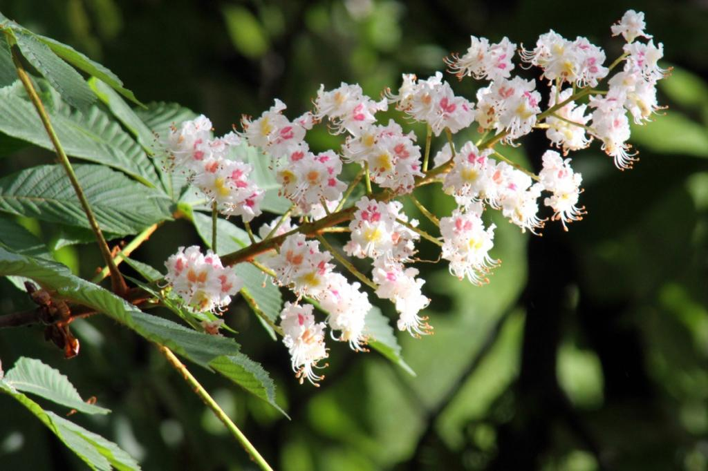 цветки каштана конского