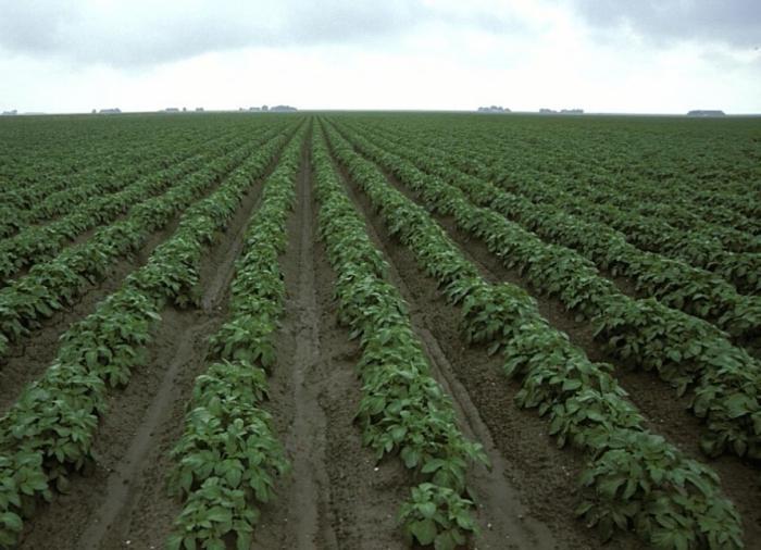 Высокоурожайный картофель. .  Выращивание по голландской технологии.