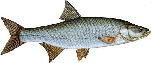 распространенная речная рыба карповых