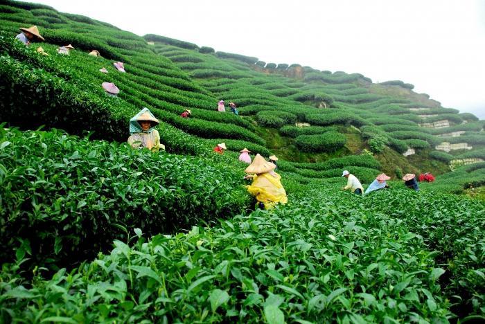 как заварить чай чанг шу