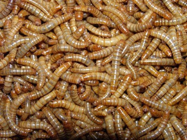 ловили личинки в земле снятся к чему терапевтические