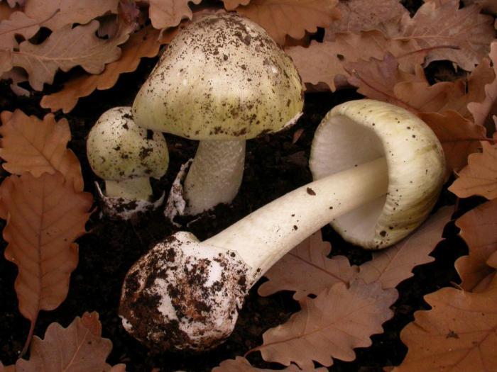 горки грибы плюсы фото и описание надергал