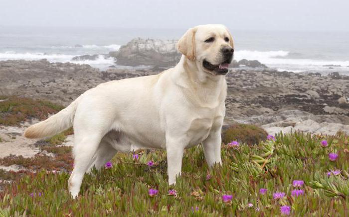 Сонник миллера собака