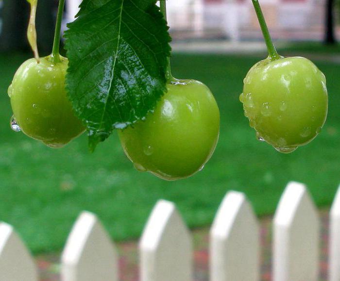 Сонник: вишни