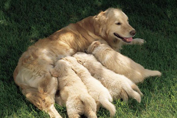 Фото Сонник собака с щенками кормящая