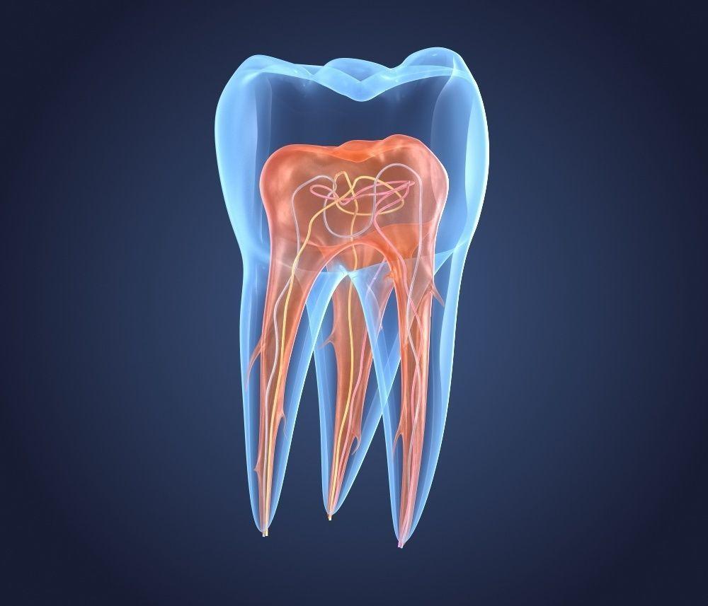развитие тканей зуба