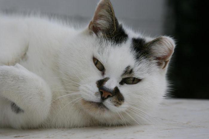 как выглядит рак у кошек
