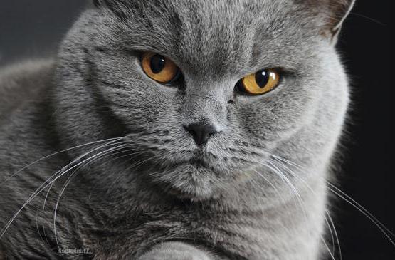 плоскоклеточный рак у кошек