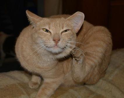 У кошки чешутся уши и трясет головой