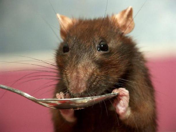 чем кормить декоративную крысу в домашних условиях