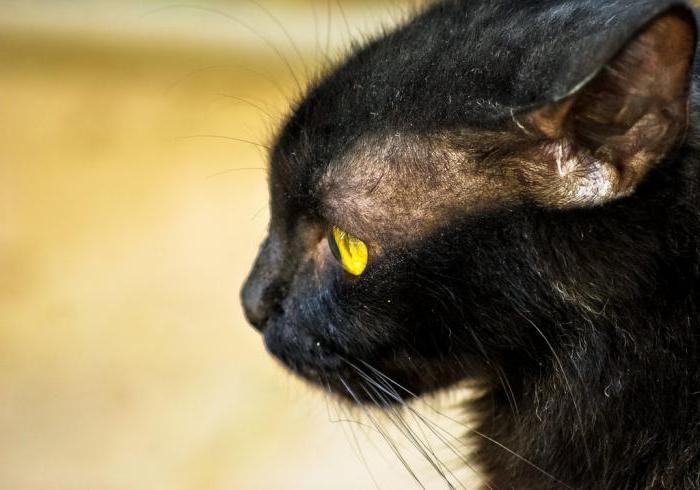 У кота над глазами проплешины