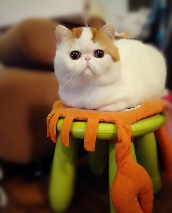 Китайская кошка (31 фото как выглядит?