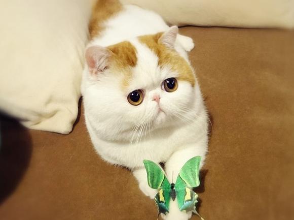 Кошка породы экзот фото