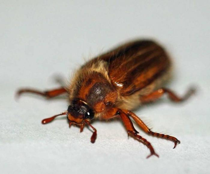 что ест личинка майского жука