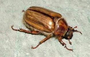 майский жук что ест