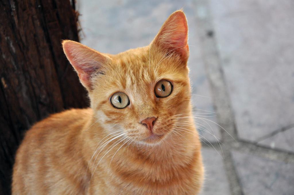 грязные уши у кота