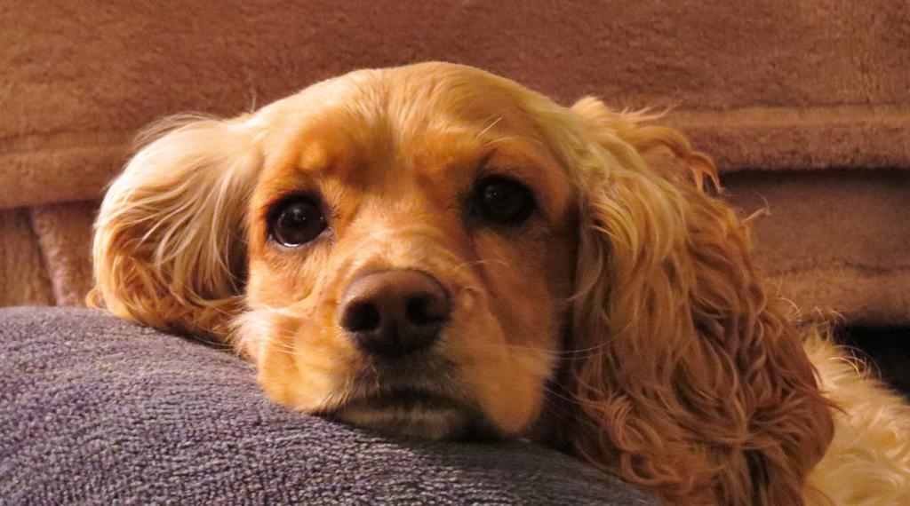 породы вислоухих собак с фотографиями