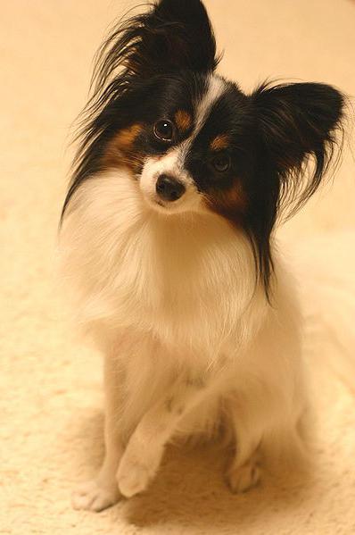 собака папильон фото сколько стоит