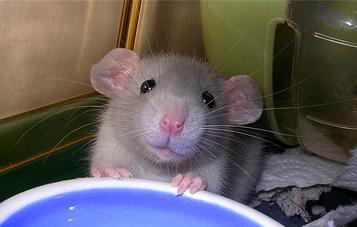 крыса дамбо