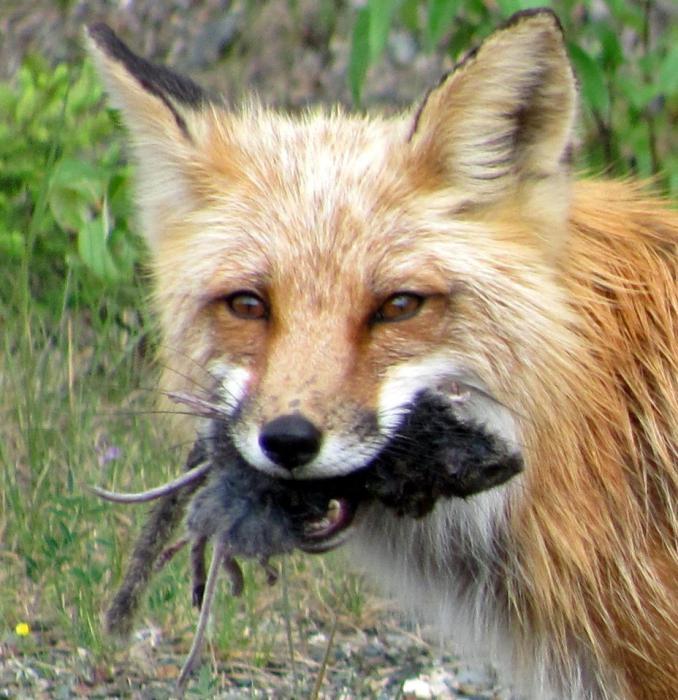 Чем питается лиса? Чем питается лиса в лесу зимой?