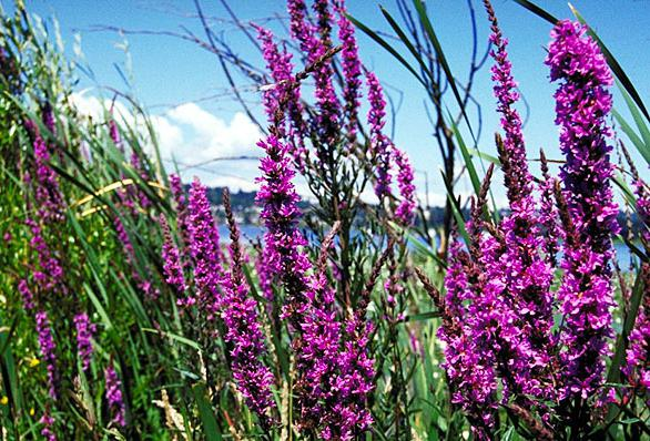 Что такое плакун-трава?