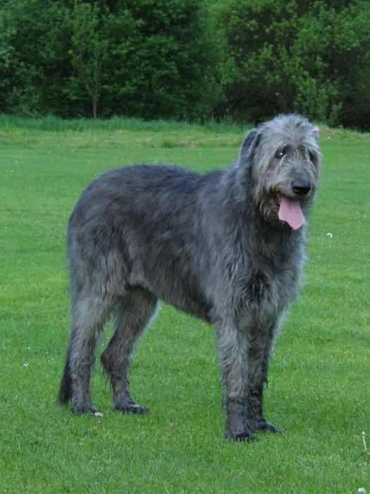 Порода собак ирландский волкодав: описание, характер и цена щенков
