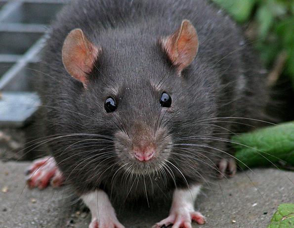 крыса снится к чему