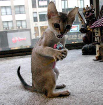"""самая маленькая кошка Ñ""""оÑ'о"""