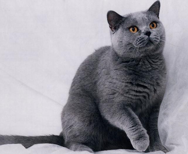 Порода серых котов с желтыми глазами
