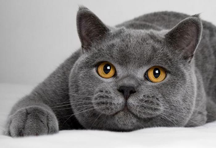 породы серой кошки название