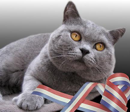 порода серой кошки фото