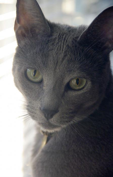 серая кошка какой породы