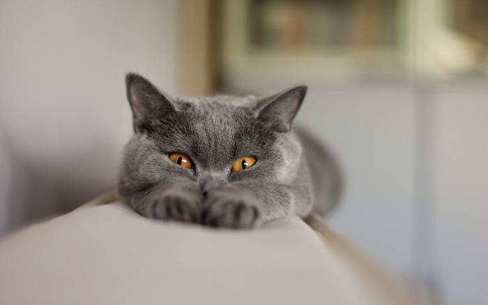 порода серой кошки