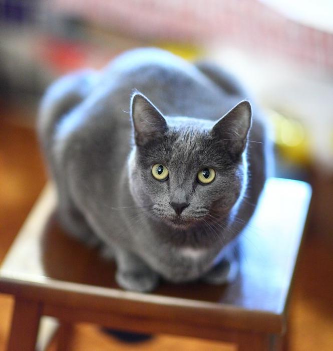 породы кошек серых название