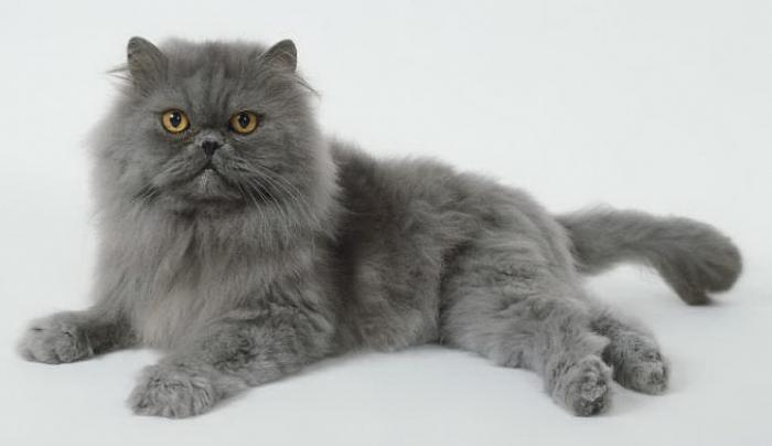 персидская серая кошка фото