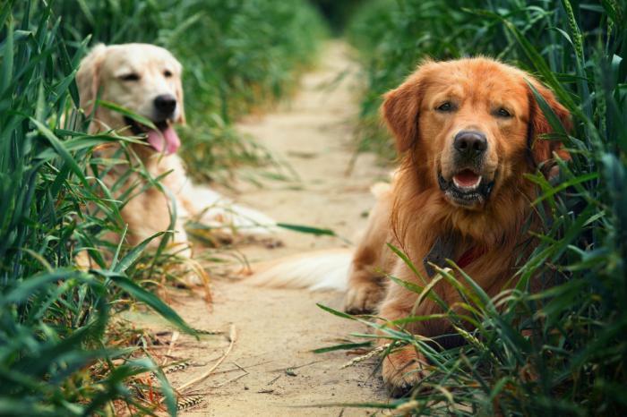 правила вязки собак